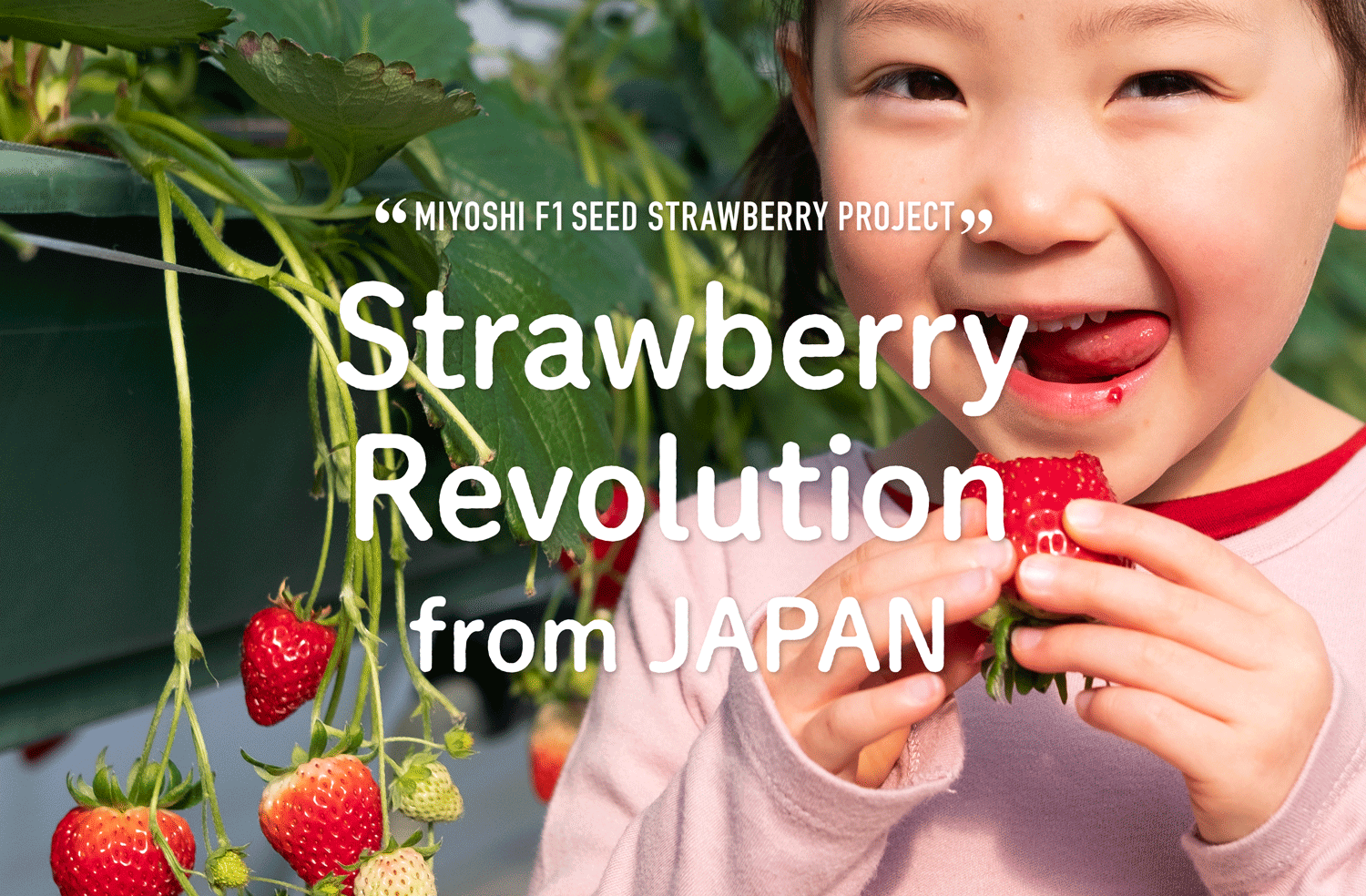 New official Web site for MIYOSHI F1 STRAWBERRIES opened!