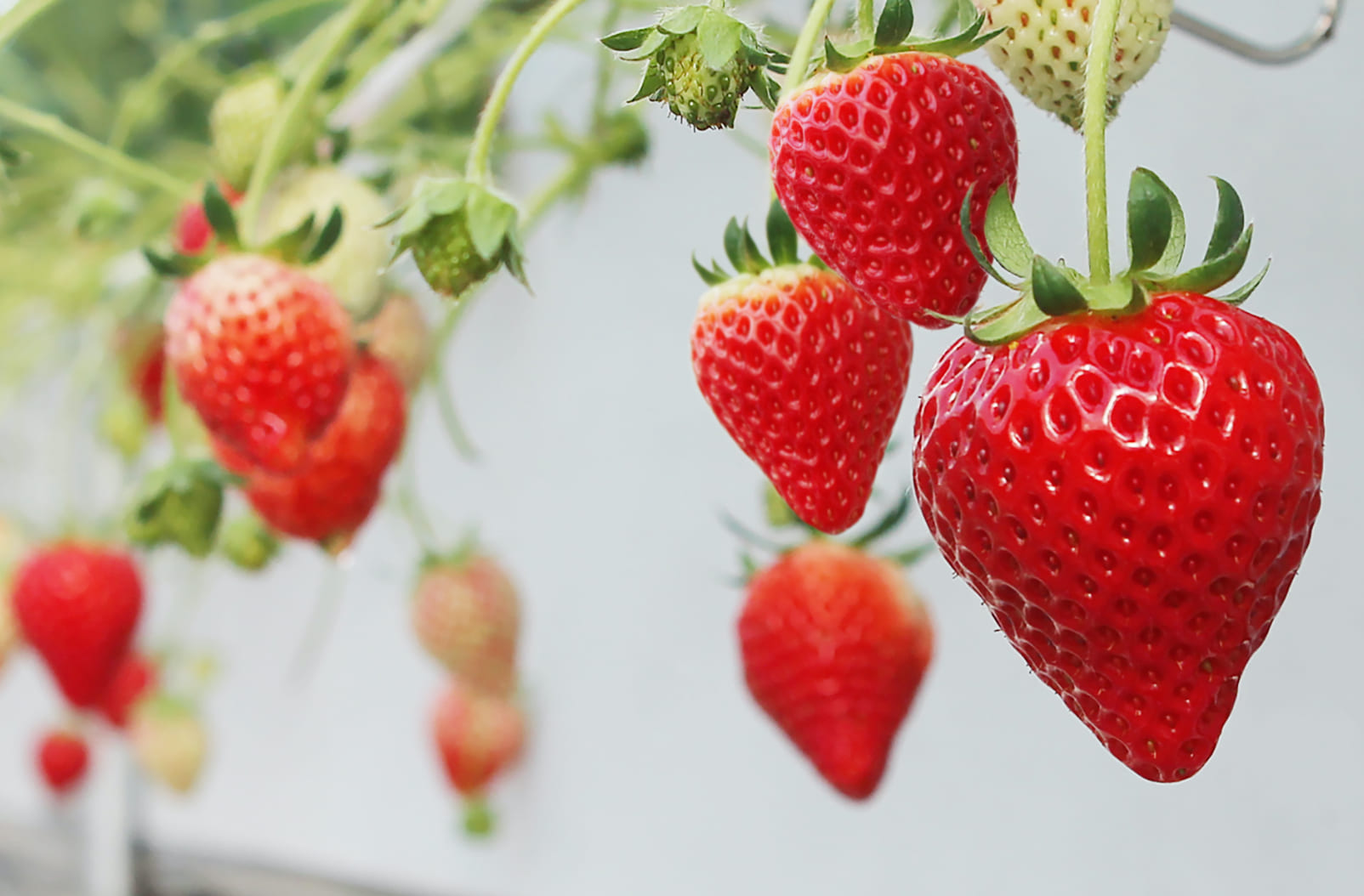 MIYOSHI GROUP will release two new varieties as the first generations!