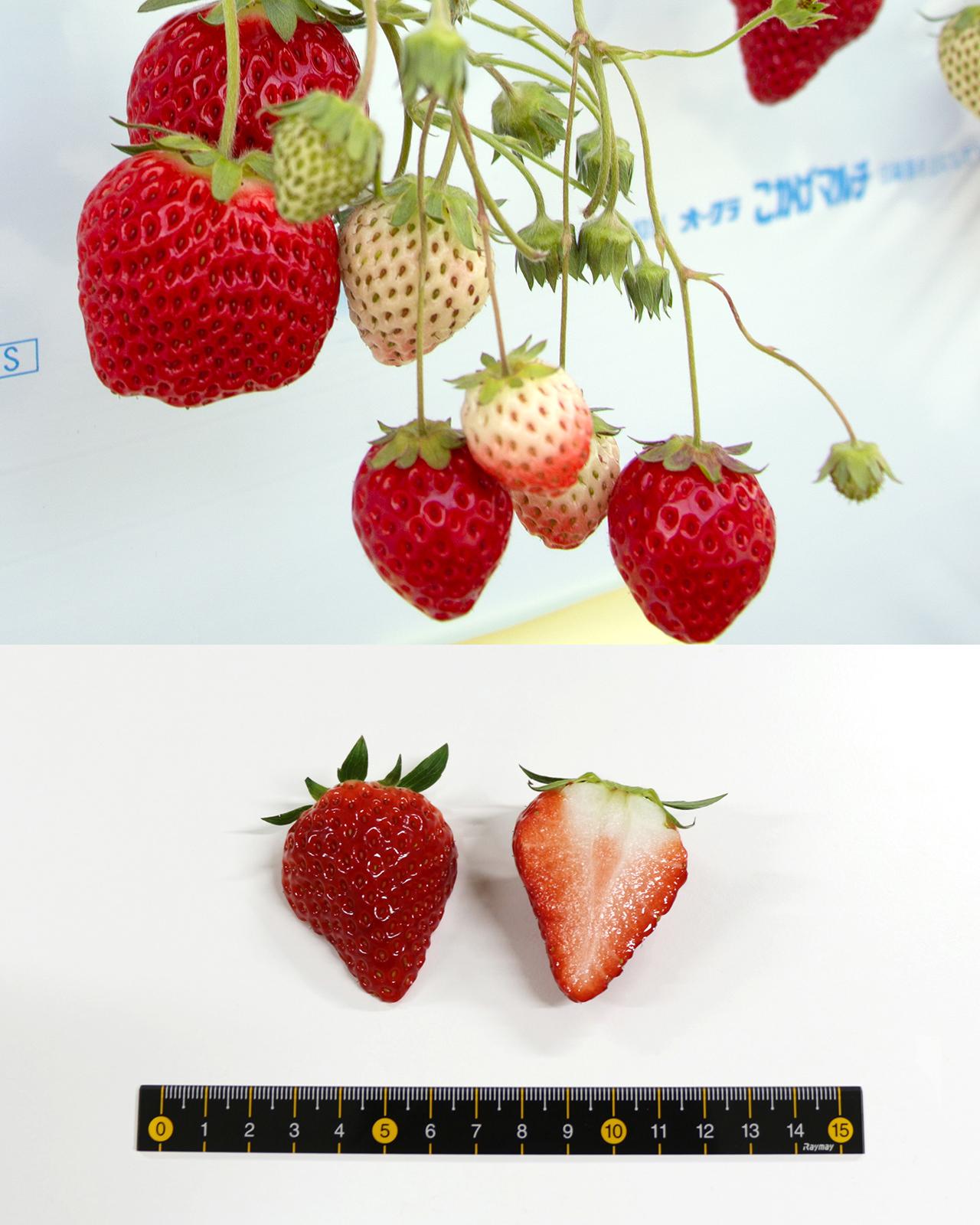 Berry Pop HARUHI