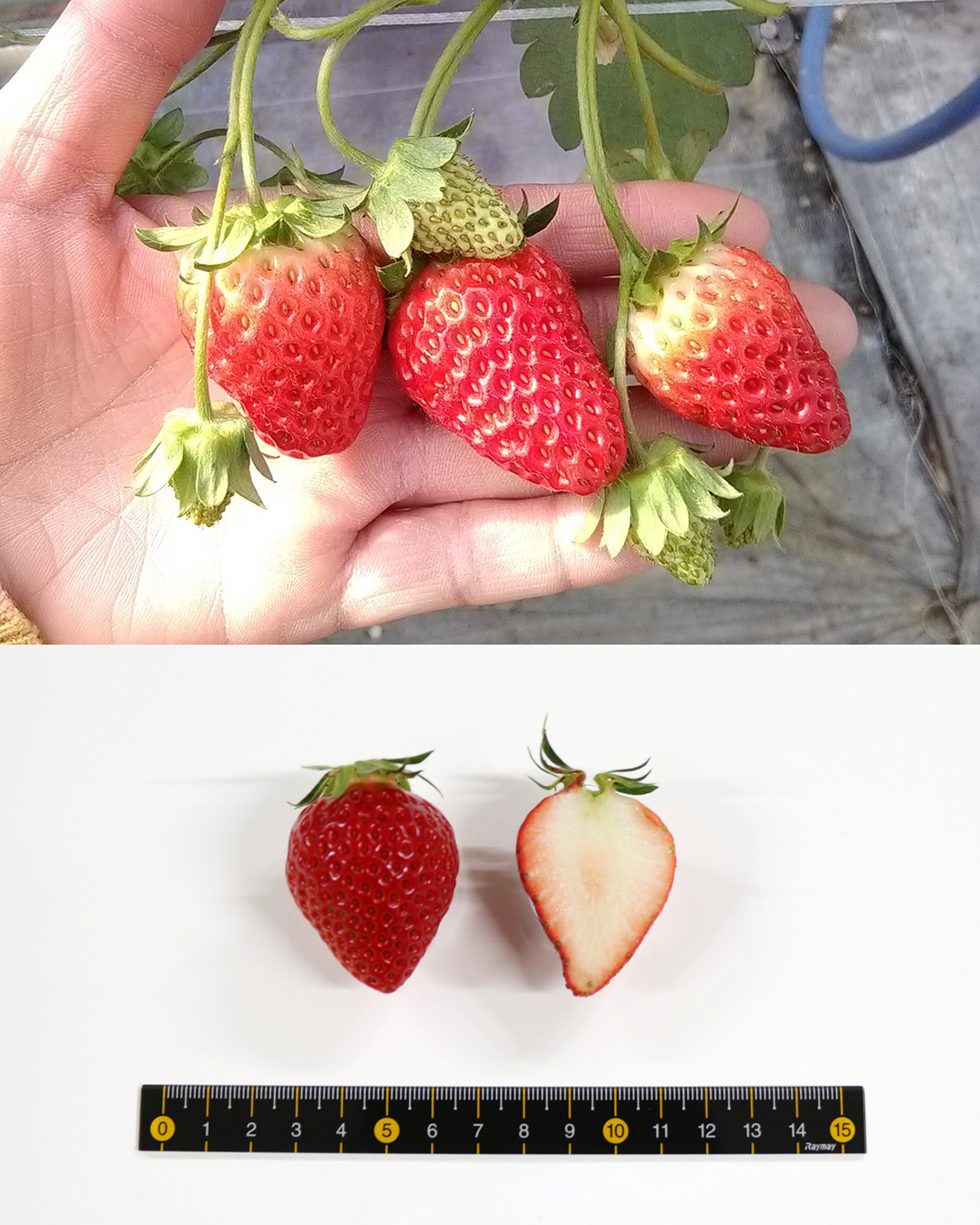 Berry Pop SAKURA